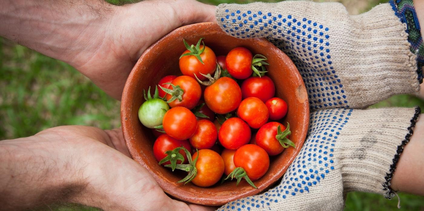 fresh cherry tomatoes grown in garden being held in a bowl